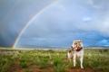 Australian Shepherd standing under a rainbow