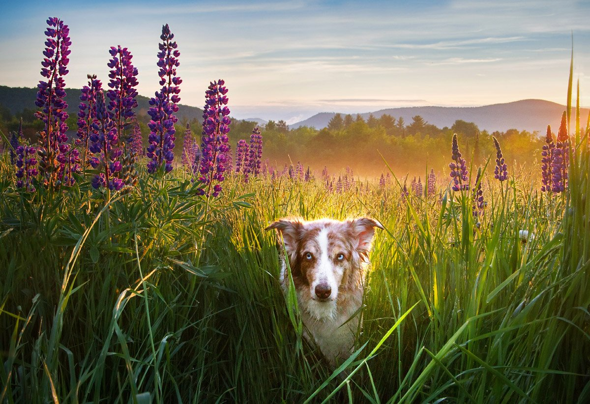 Australian Shepherd in a field of lupines