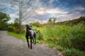black dog at the Arnold Arboretum