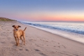 terrier standing on a beach on Cape Cod at sunrise