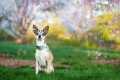 Chihuahua in front of spring flowers