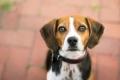 Beagle on a brick walkway