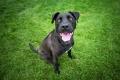 black dog smiling at the camera