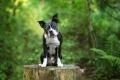 Boston Terrier sitting on a tree stump