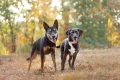 two dogs in front of fall leaves