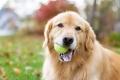 Golden Retriever holding a tennis ball