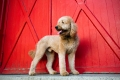 Goldendoodle dog standing in front of red barn doors