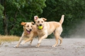 two yellow labs playing with a ball