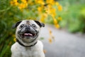 Pug smiling in front of yellow flowers