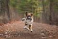 Englsih Shepherd puppy running in the woods