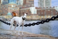 Greyhound standing in front of Boston Harbor