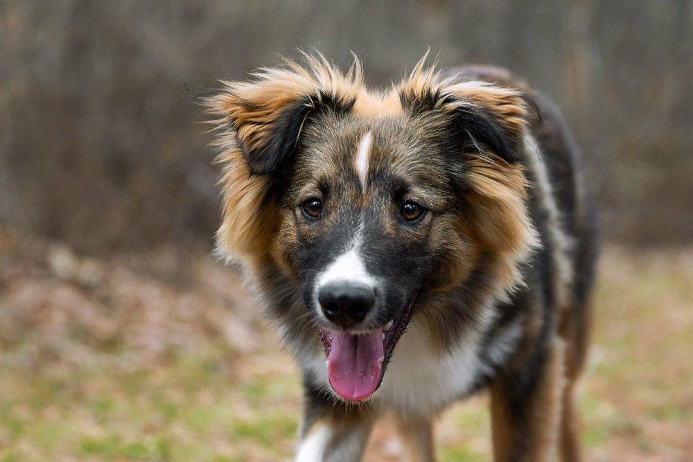 English Shepherd puppy