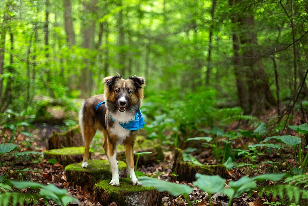 Flint, an English Shepherd, standing on a mossy log in the forest