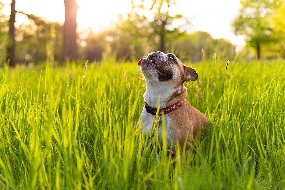 Bulldog looking up at the sky in a field at sunset