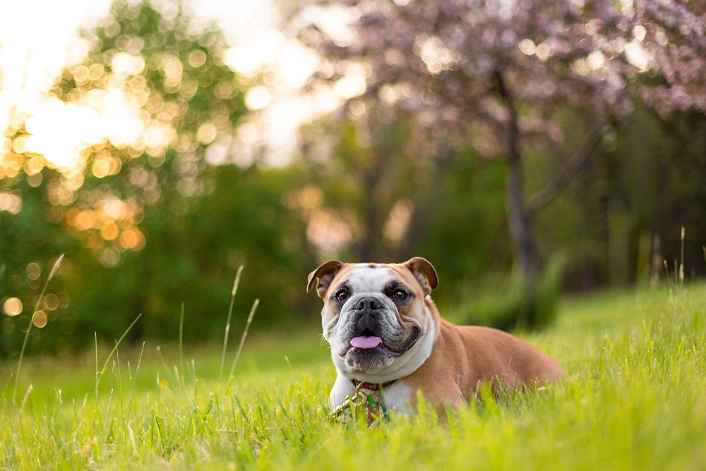 Bulldog lying down in front of trees and flowers