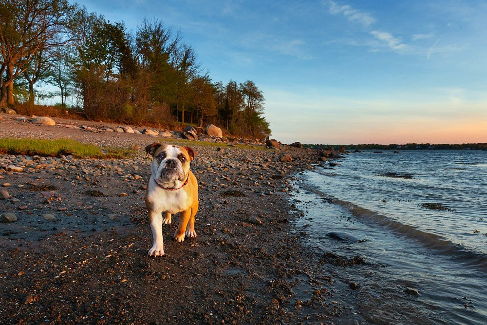 Bulldog walking along the ocean at sunset