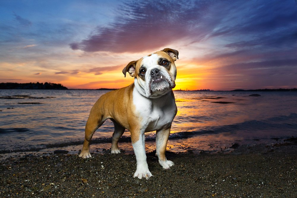Bulldog standing in front of a colorful sunset by the ocean