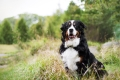 Bernese Mountain Dog in a field
