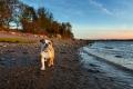 Bulldog walking down the beach