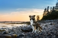 English Shepherd sitting on the beach in Maine