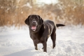 black lab standing in the snow