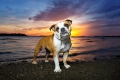 Bulldog standing on the beach at sunset