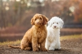 two labradoodle puppies