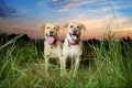 Two yellow labrador retrievers in a field at sunset