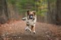 English Shepherd puppy running in the woods