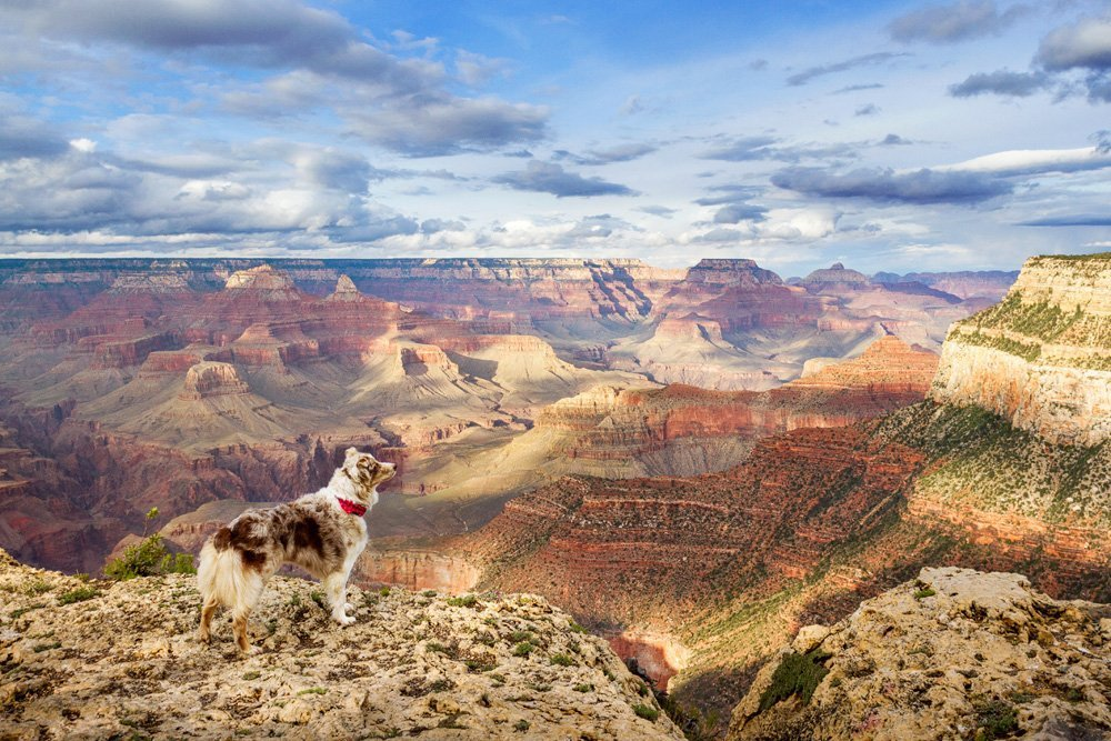 Dog standing on a cliff overlooking the Grand Canyon