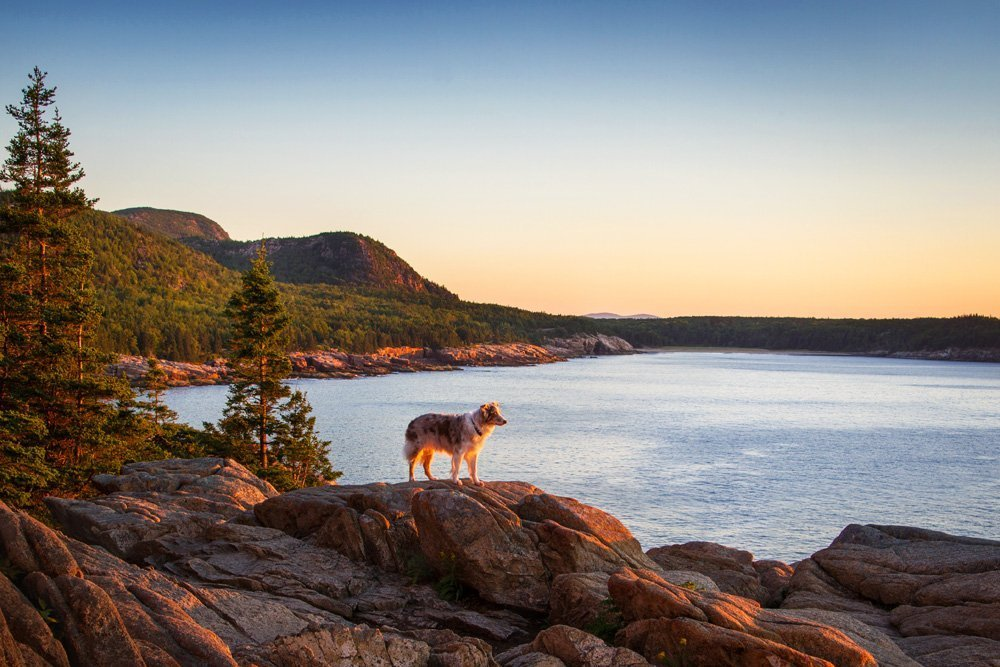 Dog standing on top of Otter Cliff looking out at the ocean in Acadia National Park