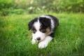 Australian Shepherd puppy playing the grass