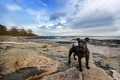 Black mini schnauzer standing on a rocky beach
