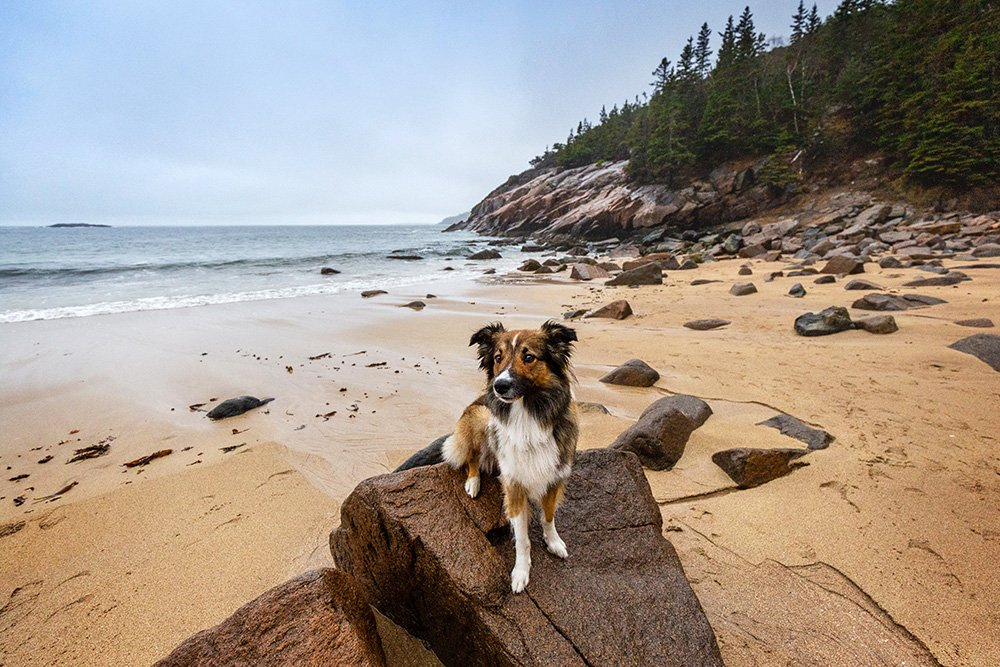 Dog sitting on a rock on Sand Beach in Acadia
