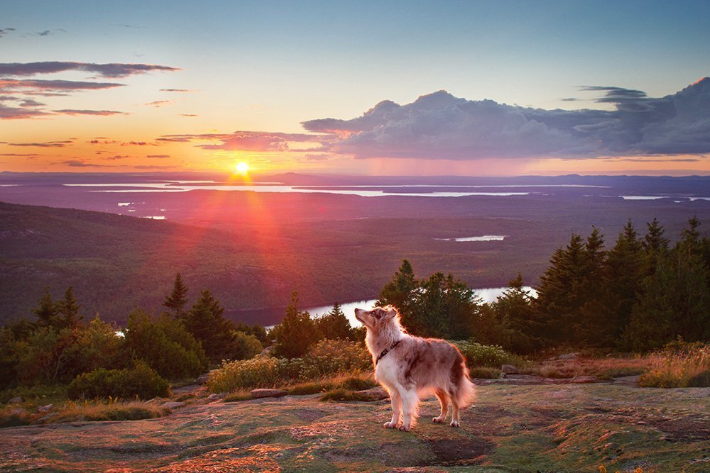 Dog looking up at the sunset on Cadillac Mountain