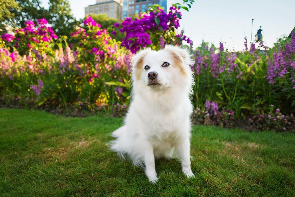 Dog sitting in a park in front of purple flowers