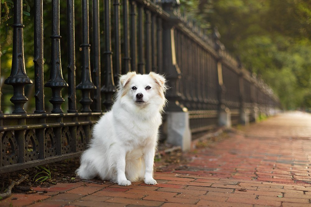 White dog sitting on a red brick sidewalk next to a wrought iron fence.