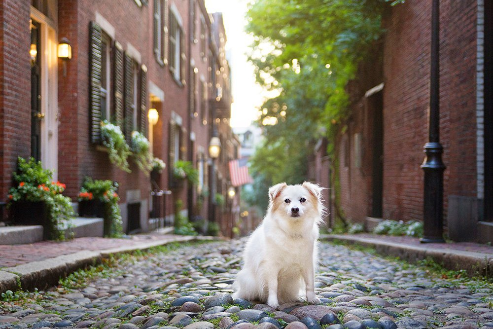 Dog sitting on a cobblestone street in Boston's Beacon Hill neighborhood
