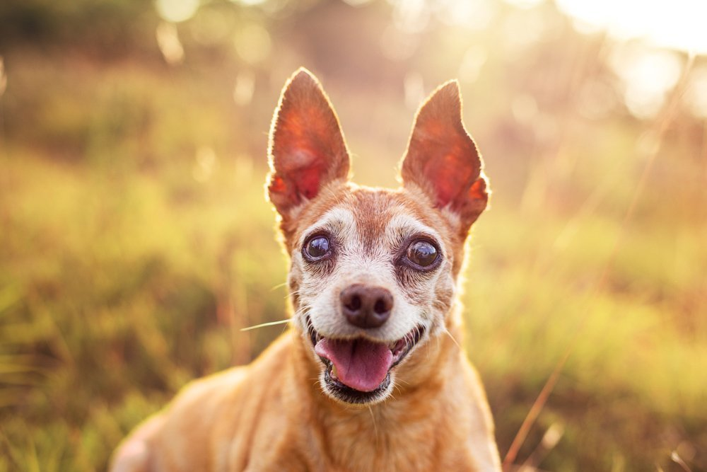Dog smiling at the camera with golden sunlight behind him