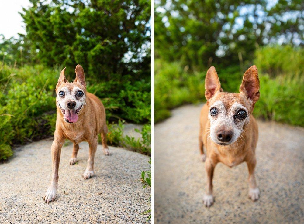Rufus, the Miniature Pinscher dog, walking toward the camera