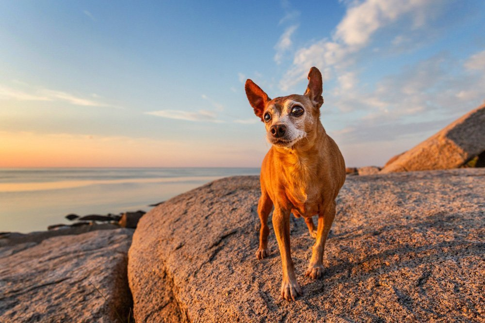 Dog standing on rocks looking at the sunset over the ocean