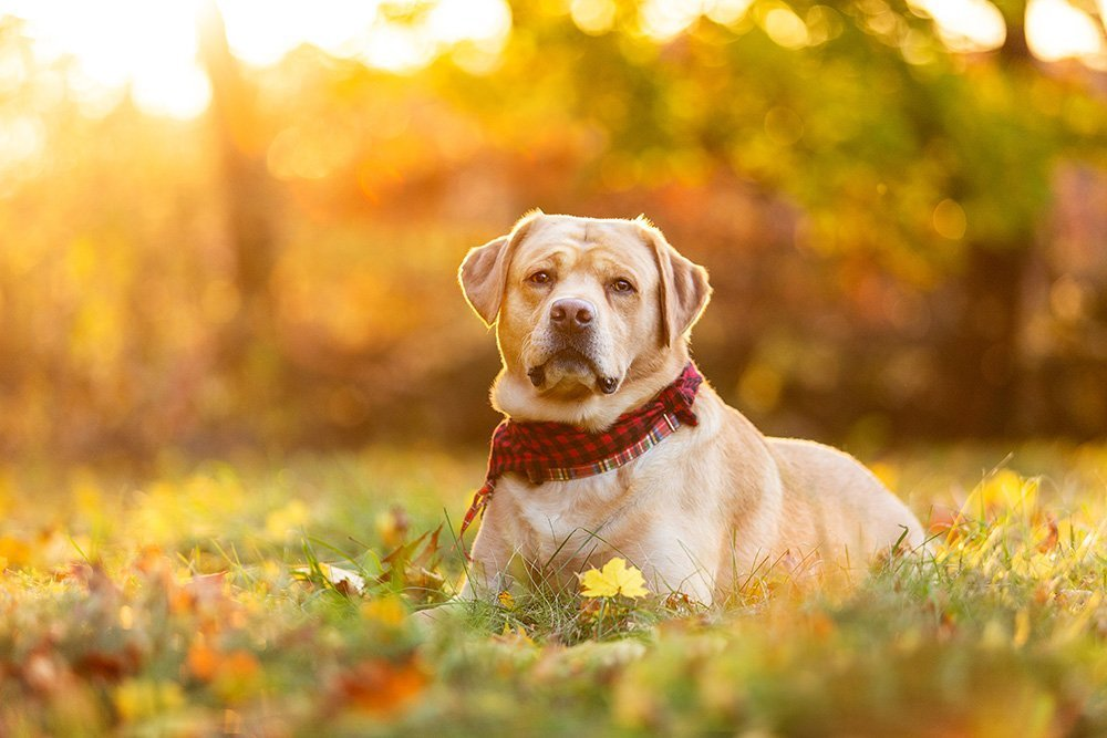 Labrador Retriever in front of fall foliage with golden sunshine coming through the trees