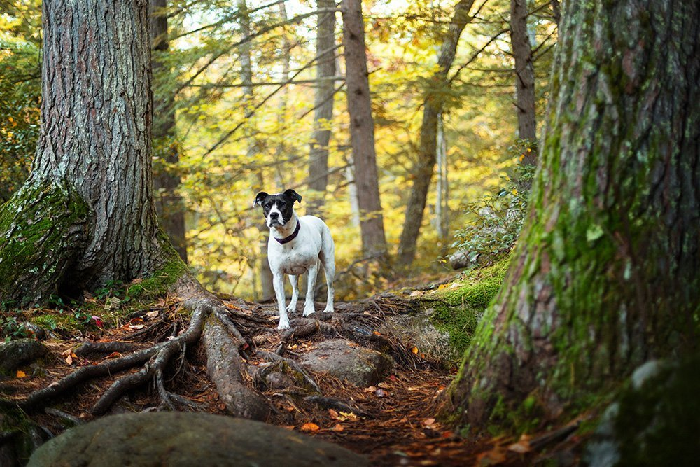 Black and white dog walking down a path in the forest
