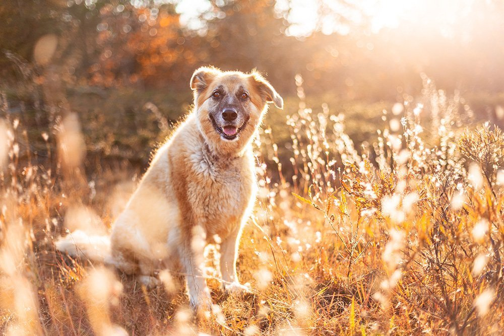 Mixed breed dog sitting in a field of tall, golden grass
