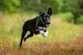 black dog running full speed through a field