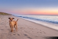 Terrier mix standing on the beach at sunrise