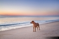 Dog looking out over the ocean at sunrise