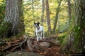 Dog standing in the woods with big trees and fall foliage