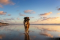 Dog standing on a beach looking out at sunset