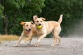 Two yellow labs fetching a ball